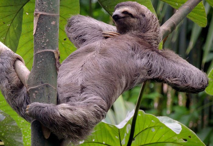 sloth facts 28 fascinating facts about sloths kickassfacts com