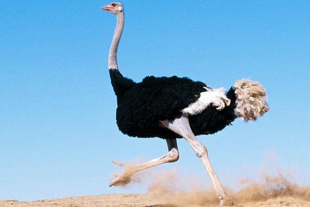 african-ostrich