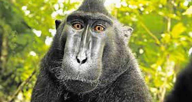 black-macaque-monkey-taking-selfie