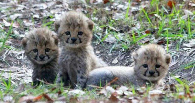 Cheetas with cubs