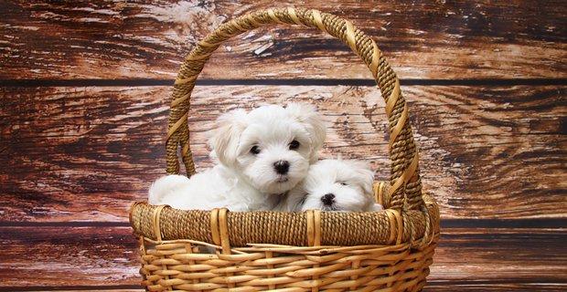 puppy-news
