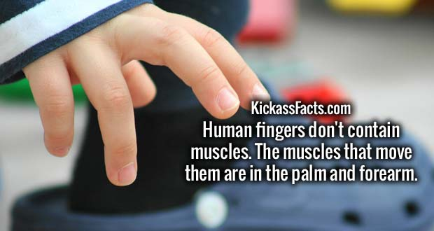 Human fingers don't contain muscles. The muscles that move them are in the palm and forearm.