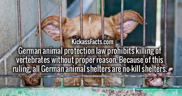 German animal protection law prohibits killing of vertebrates without proper reason. Because of this ruling, all German animal shelters are no-kill shelters.