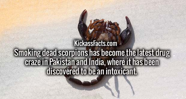 Smoking dead scorpions has become the latest drug craze in Pakistan and India, where it has been discovered to be an intoxicant.