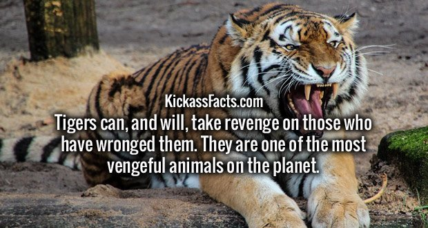 Tigers can, and will, take revenge on those who have wronged them. They are one of the most vengeful animals on the planet.