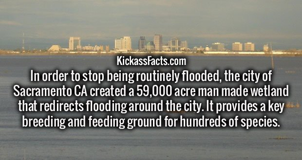 In order to stop being routinely flooded, the city of Sacramento CA created a 59,000 acre man made wetland that redirects flooding around the city. It provides a key breeding and feeding ground for hundreds of species.