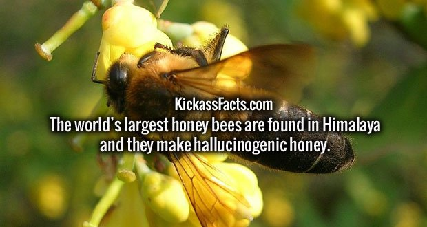 The world's largest honey bees are found in Himalaya and they make hallucinogenic honey.