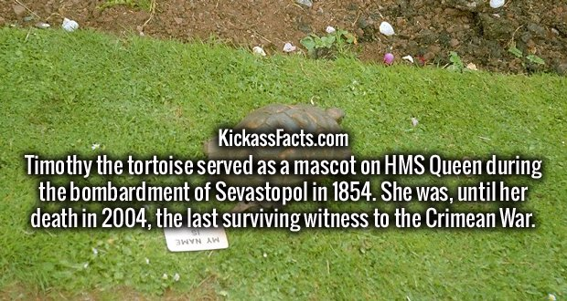 Timothy the tortoise served as a mascot on HMS Queen during the bombardment of Sevastopol in 1854. She was, until her death in 2004, the last surviving witness to the Crimean War.