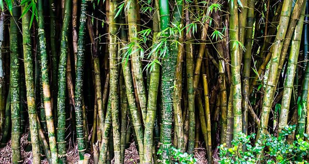 Bamboo Facts 29 Interesting Facts About Bamboo Kickassfacts Com
