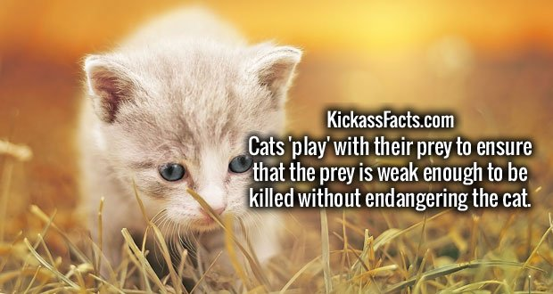 Cats 'play' with their prey to ensure that the prey is weak enough to be killed without endangering the cat.