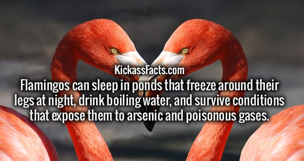 Flamingos can sleep in ponds that freeze around their legs at night, drink boiling water, and survive conditions that expose them to arsenic and poisonous gases.