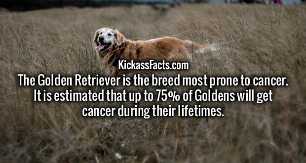 The Golden Retriever is the breed most prone to cancer. It is estimated that up to 75% of Goldens will get cancer during their lifetimes.