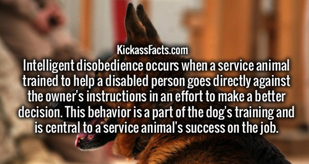 Intelligent disobedience occurs when a service animal trained to help a disabled person goes directly against the owner's instructions in an effort to make a better decision. This behavior is a part of the dog's training and is central to a service animal's success on the job.