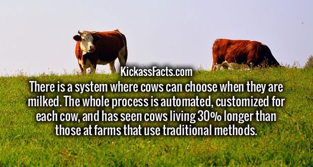There is a system where cows can choose when they are milked. The whole process is automated, customized for each cow, and has seen cows living 30% longer than those at farms that use traditional methods.