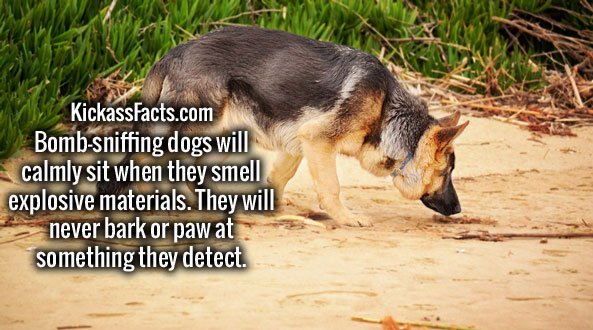 Bomb-sniffing dogs will calmly sit when they smell explosive materials. They will never bark or paw at something they detect.