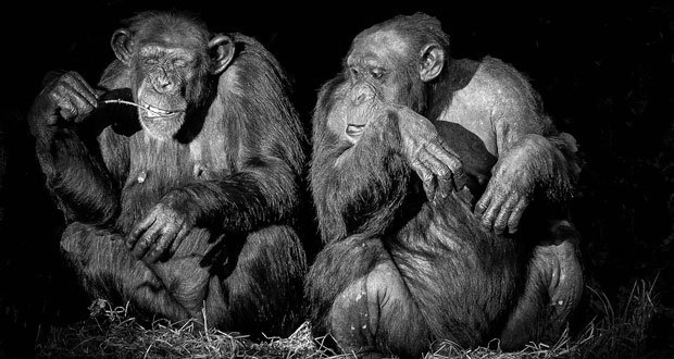 chimpanzee facts 37 interesting facts about chimpanzees