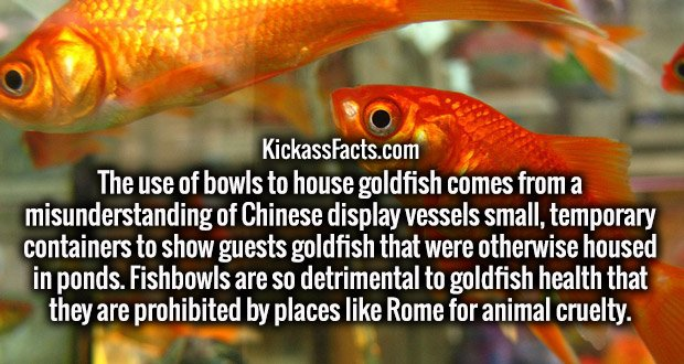 The use of bowls to house goldfish comes from a misunderstanding of Chinese display vessels small, temporary containers to show guests goldfish that were otherwise housed in ponds. Fishbowls are so detrimental to goldfish health that they are prohibited by places like Rome for animal cruelty.