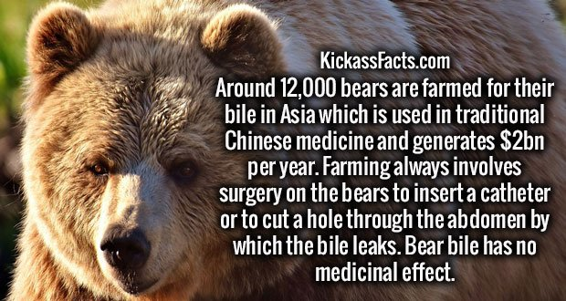 Around 12,000 bears are farmed for their bile in Asia which is used in traditional Chinese medicine and generates $2bn per year. Farming always involves surgery on the bears to insert a catheter or to cut a hole through the abdomen by which the bile leaks. Bear bile has no medicinal effect.