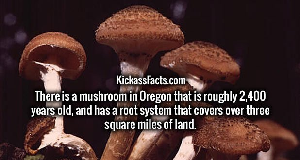 There is a mushroom in Oregon that is roughly 2,400 years old, and has a root system that covers over three square miles of land.