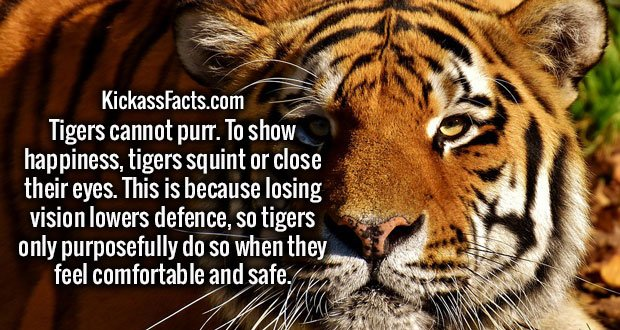 Tigers cannot purr. To show happiness, tigers squint or close their eyes. This is because losing vision lowers defence, so tigers only purposefully do so when they feel comfortable and safe.
