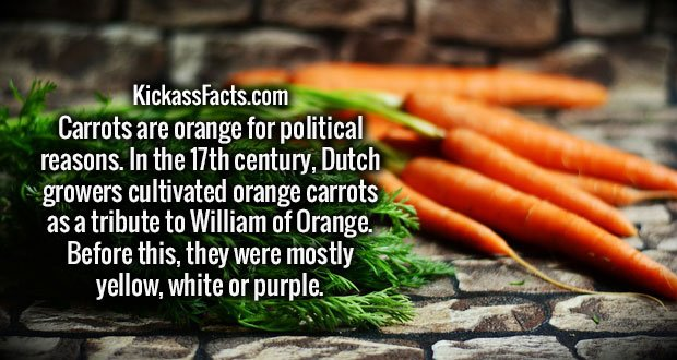 Carrots are orange for political reasons. In the 17th century, Dutch growers cultivated orange carrots as a tribute to William of Orange. Before this, they were mostly yellow, white or purple.
