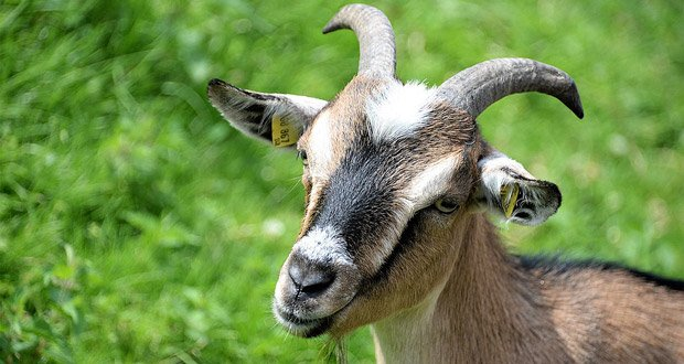 Goat Facts - 33 Interesting Facts About Goats | KickassFacts com