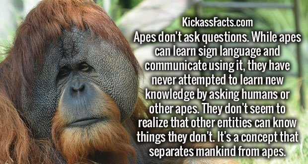 Apes don't ask questions. While apes can learn sign language and communicate using it, they have never attempted to learn new knowledge by asking humans or other apes. They don't seem to realize that other entities can know things they don't. It's a concept that separates mankind from apes.