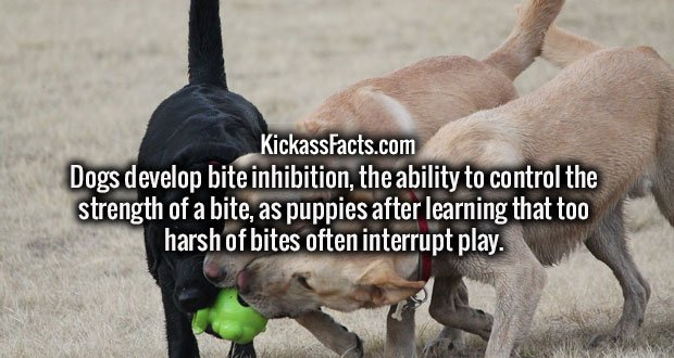 Dogs develop bite inhibition, the ability to control the strength of a bite, as puppies after learning that too harsh of bites often interrupt play.
