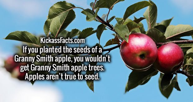 If you planted the seeds of a Granny Smith apple, you wouldn't get Granny Smith apple trees. Apples aren't true to seed.