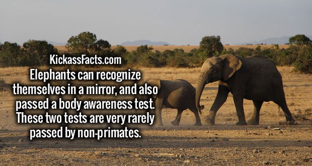 Elephants can recognize themselves in a mirror, and also passed a body awareness test. These two tests are very rarely passed by non-primates.