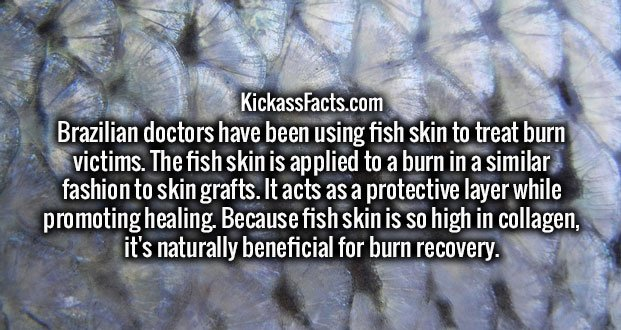 Brazilian doctors have been using fish skin to treat burn victims. The fish skin is applied to a burn in a similar fashion to skin grafts. It acts as a protective layer while promoting healing. Because fish skin is so high in collagen, it's naturally beneficial for burn recovery.