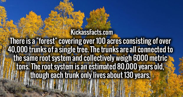 "There is a ""forest"" covering over 100 acres consisting of over 40,000 trunks of a single tree. The trunks are all connected to the same root system and collectively weigh 6000 metric tons. The root system is an estimated 80,000 years old, though each trunk only lives about 130 years."