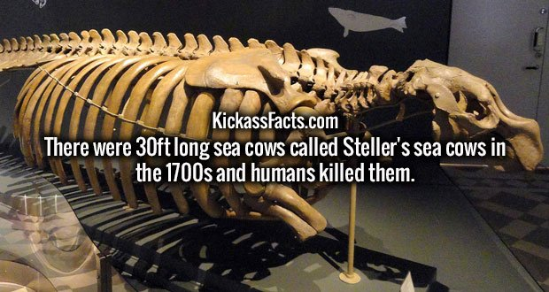 There were 30ft long sea cows called Steller's sea cows in the 1700s and humans killed them.