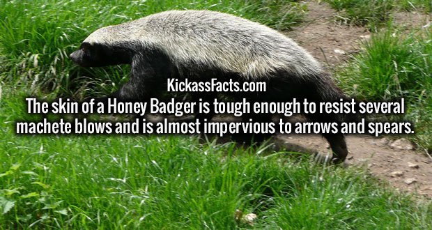 The skin of a Honey Badger is tough enough to resist several machete blows and is almost impervious to arrows and spears.