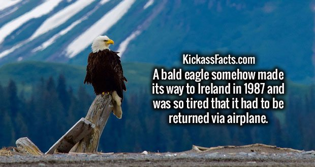 A bald eagle somehow made its way to Ireland in 1987 and was so tired that it had to be returned via airplane.