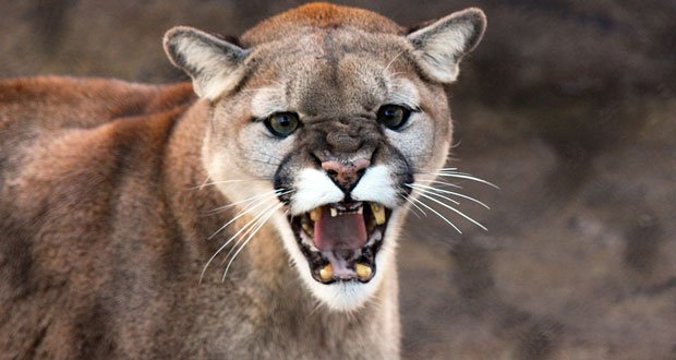cougar facts 12 interesting facts about cougars kickassfacts com