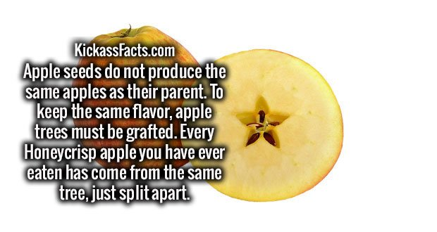 Apple seeds do not produce the same apples as their parent. To keep the same flavor, apple trees must be grafted. Every Honeycrisp apple you have ever eaten has come from the same tree, just split apart.