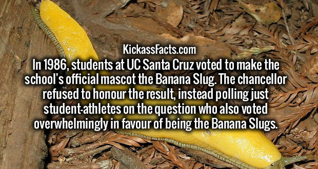 In 1986, students at UC Santa Cruz voted to make the school's official mascot the Banana Slug. The chancellor refused to honour the result, instead polling just student-athletes on the question who also voted overwhelmingly in favour of being the Banana Slugs.