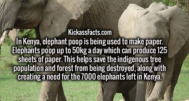 In Kenya, elephant poop is being used to make paper. Elephants poop up to 50kg a day which can produce 125 sheets of paper. This helps save the indigenous tree population and forest from being destroyed, along with creating a need for the 7000 elephants left in Kenya.
