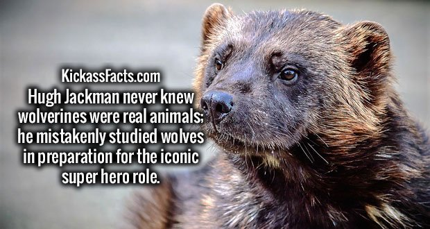 Hugh Jackman never knew wolverines were real animals; he mistakenly studied wolves in preparation for the iconic super hero role.