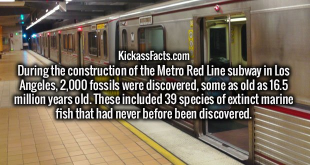 During the construction of the Metro Red Line subway in Los Angeles, 2,000 fossils were discovered, some as old as 16.5 million years old. These included 39 species of extinct marine fish that had never before been discovered.