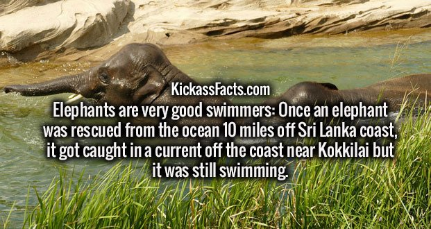 Elephants are very good swimmers: Once an elephant was rescued from the ocean 10 miles off Sri Lanka coast, it got caught in a current off the coast near Kokkilai but it was still swimming.