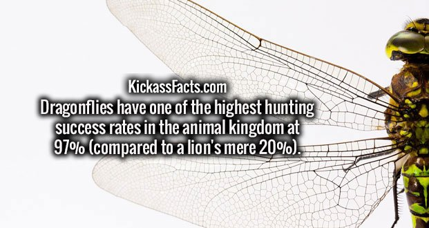 Dragonflies have one of the highest hunting success rates in the animal kingdom at 97% (compared to a lion's mere 20%).