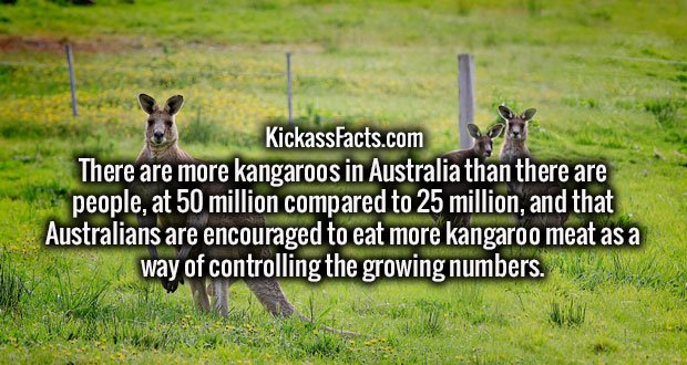 There are more kangaroos in Australia than there are people, at 50 million compared to 25 million, and that Australians are encouraged to eat more kangaroo meat as a way of controlling the growing numbers.