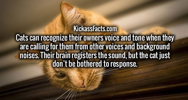 Cats can recognize their owners voice and tone when they are calling for them from other voices and background noises. Their brain registers the sound, but the cat just don't be bothered to response.