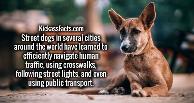 Street dogs in several cities around the world have learned to efficiently navigate human traffic, using crosswalks, following street lights, and even using public transport.