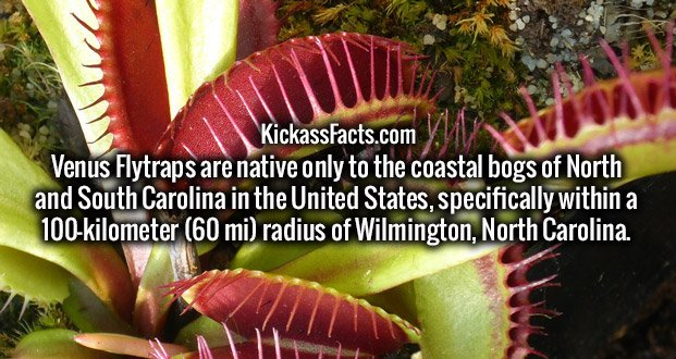 Venus Flytraps are native only to the coastal bogs of North and South Carolina in the United States, specifically within a 100-kilometer (60 mi) radius of Wilmington, North Carolina.