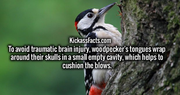 To avoid traumatic brain injury, woodpecker's tongues wrap around their skulls in a small empty cavity, which helps to cushion the blows.