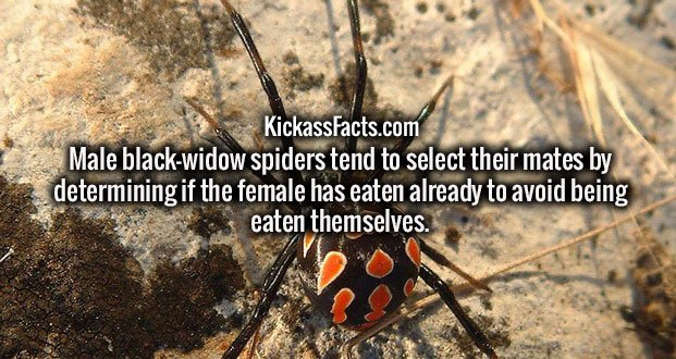 Male black-widow spiders tend to select their mates by determining if the female has eaten already to avoid being eaten themselves.