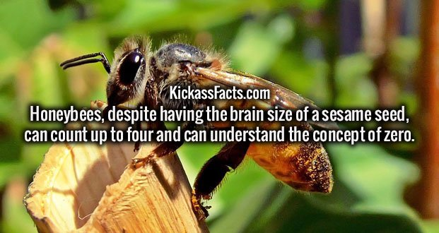 Honeybees, despite having the brain size of a sesame seed, can count up to four and can understand the concept of zero.